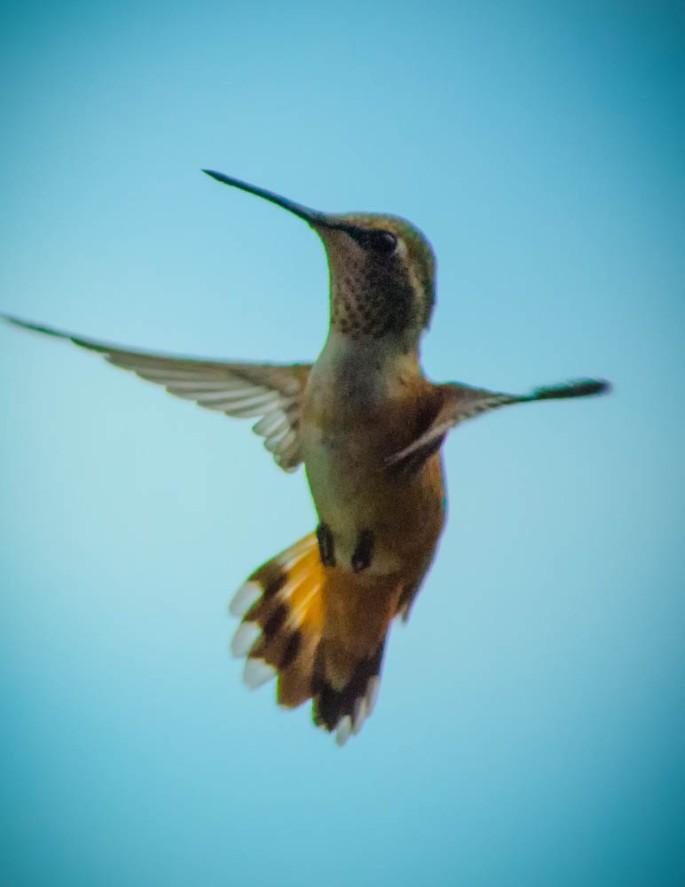 20140704-Hummingbird-00011