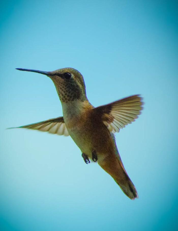 20140704-Hummingbird-00016