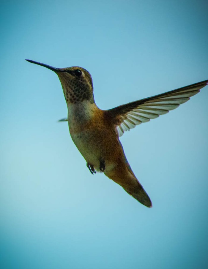 20140704-Hummingbird-00019