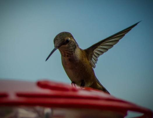 20140704-Hummingbird-00020