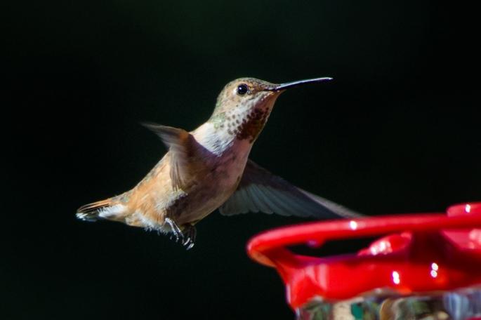 20140705-Hummingbirds-00014