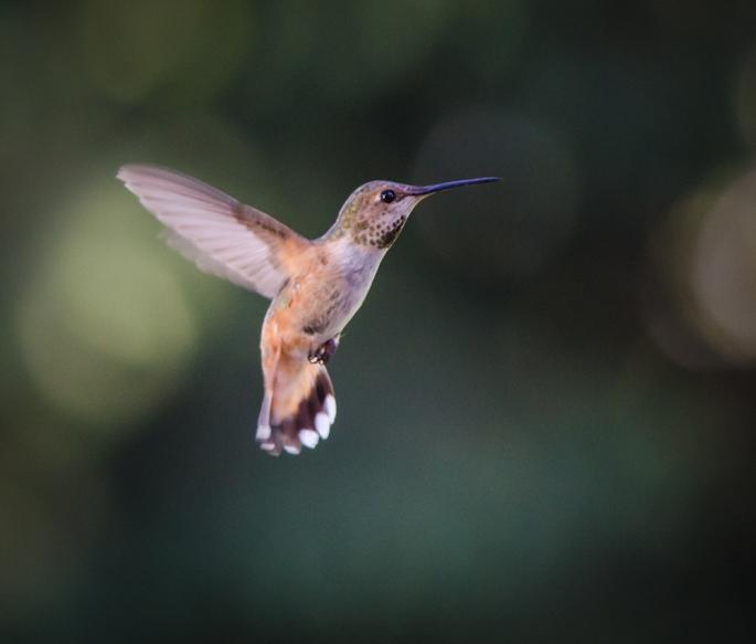 20140706-Hummingbirds-00121