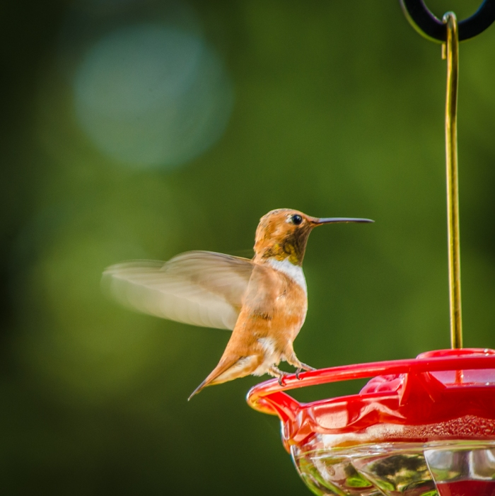 20140720-Hummingbirds-00002