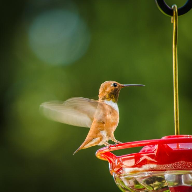 20140720-Hummingbirds-00002