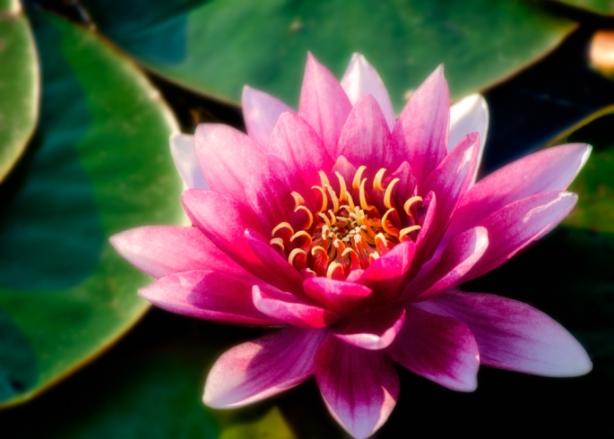 20140907-Water Lily-00001