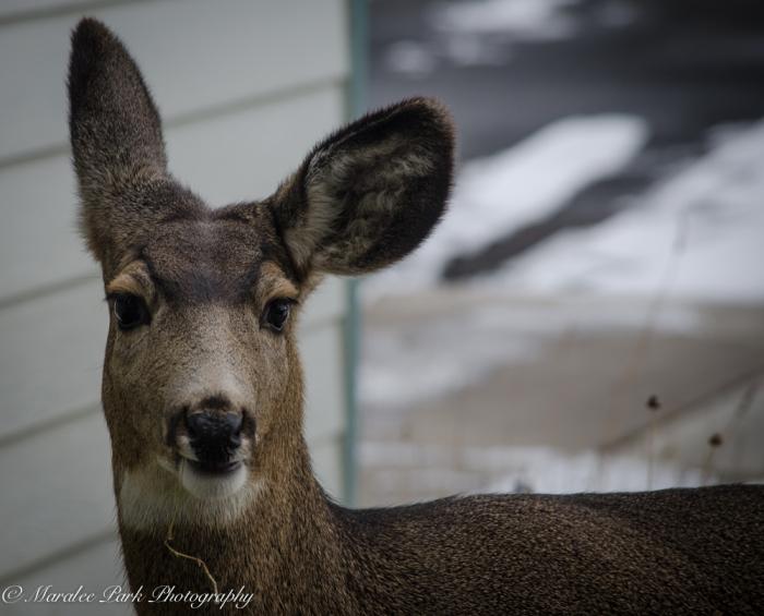 Deer-7435December 27, 2014