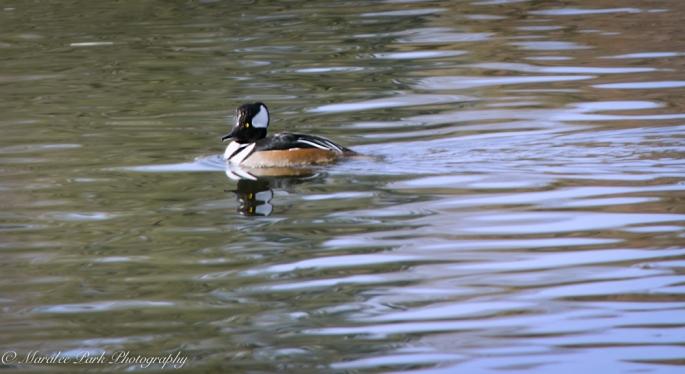 Ducks-7601January 14, 2015