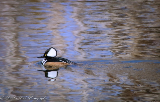 Ducks-7606January 14, 2015