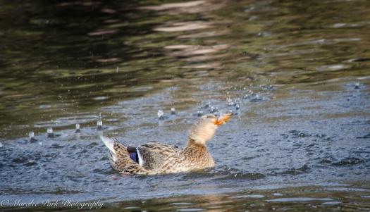 Ducks-7612January 14, 2015