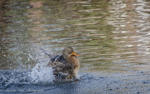 Ducks-7617January 14, 2015