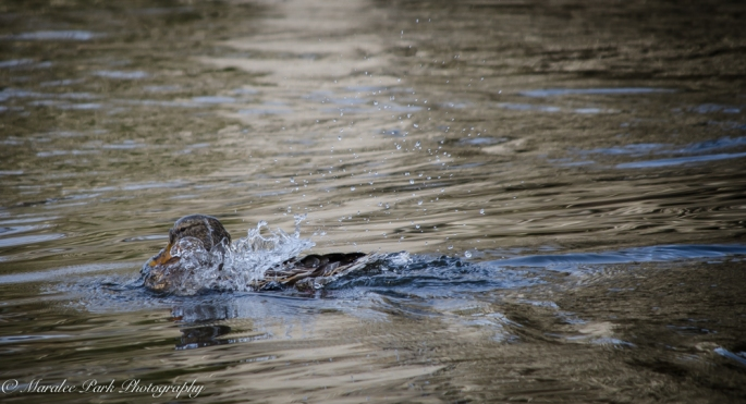Ducks-7620January 14, 2015