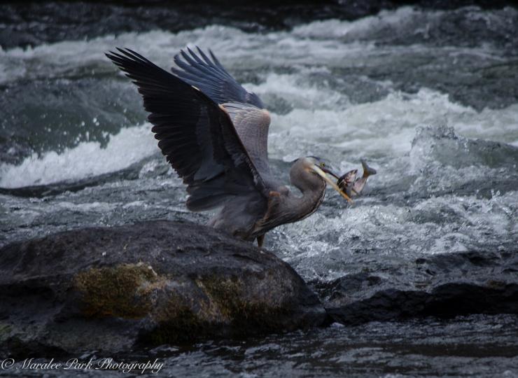 Swans and Heron-8370January 29, 2015