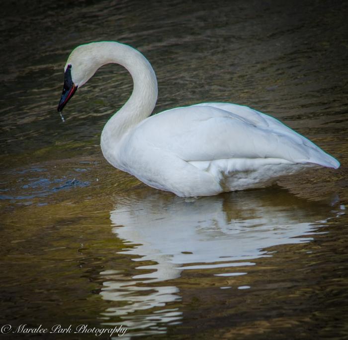 Swans and Heron-8198January 27, 2015