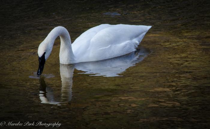 Swans and Heron-8204January 27, 2015