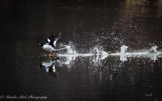 Swans and Heron-8223January 27, 2015