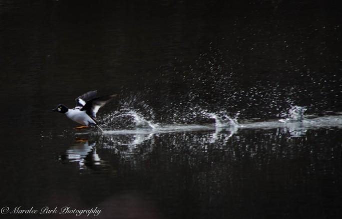 Swans and Heron-8225January 27, 2015