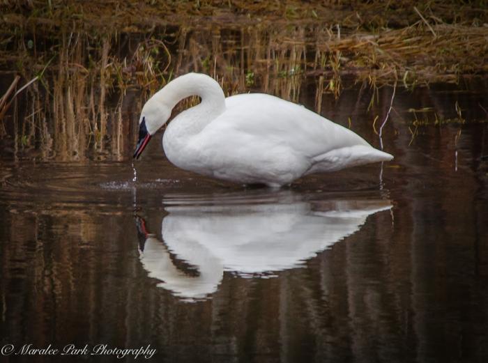 Swans and Heron-8344January 29, 2015