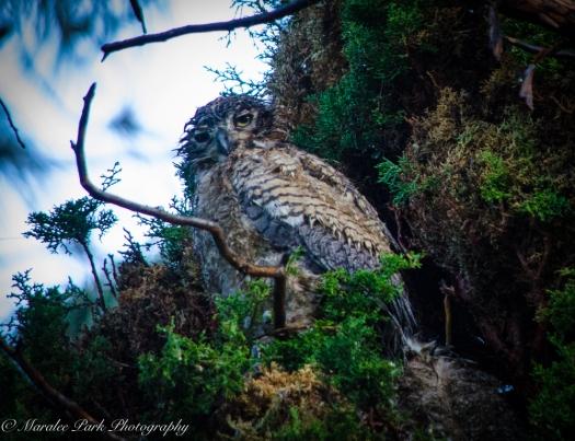 Owlet-2117May 11, 2015
