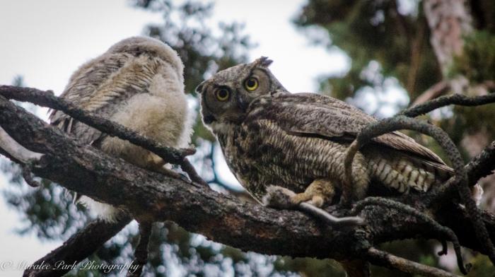 Owlet-2230May 14, 2015
