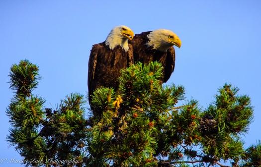 Eagle-3907June 24, 2015
