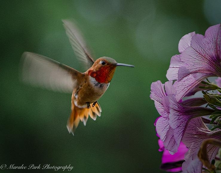 Hummingbirds-3840June 21, 2015-2