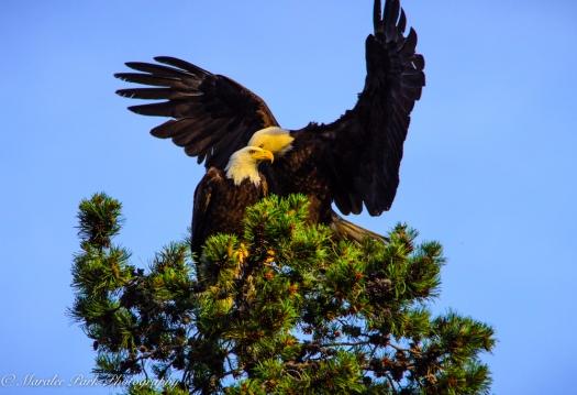 Eagle-3897June 24, 2015