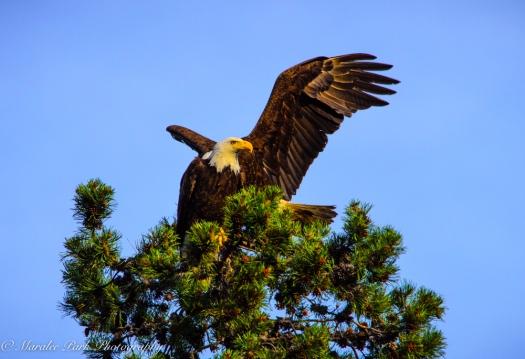 Eagle-3899June 24, 2015