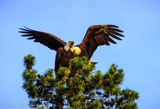 Eagle-3901June 24, 2015