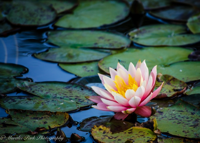 20140907-Water Lily-00013
