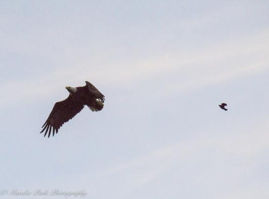 eagle-01264june-24-2015