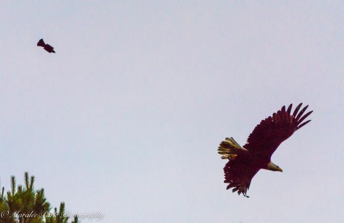 eagle-01274june-24-2015