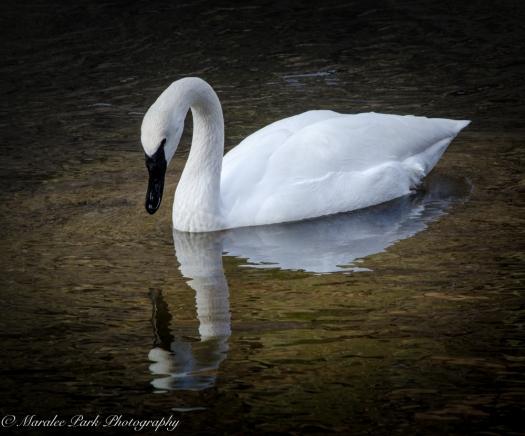 swans-and-heron-8202january-27-2015
