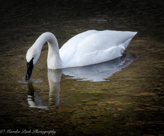 swans-and-heron-8204january-27-2015