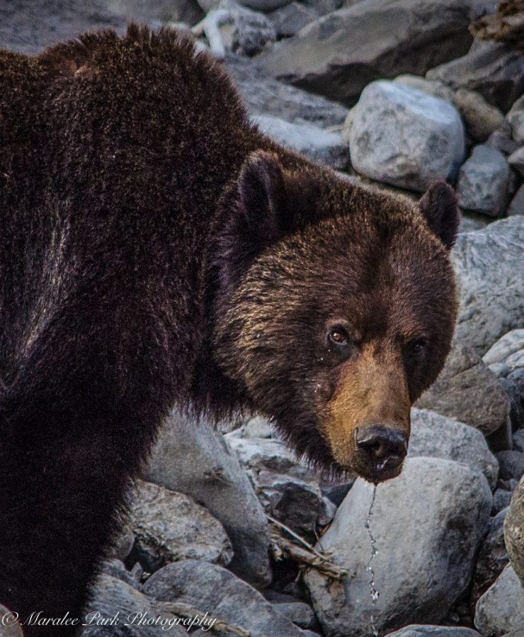 Grizzly, Sigman 150-500mm lens, hand held