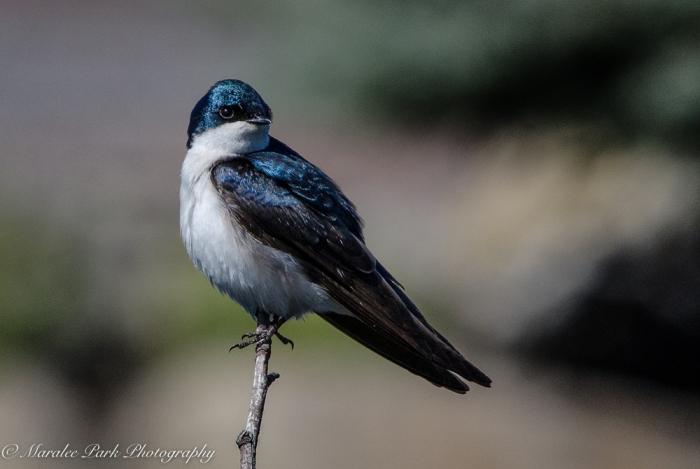 Swallow, Tree Swallow, Bird