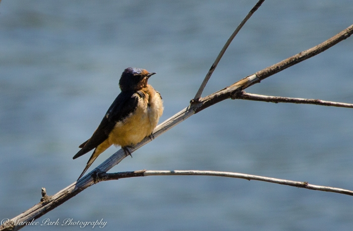 Barn Swallow, Bird, Swallow