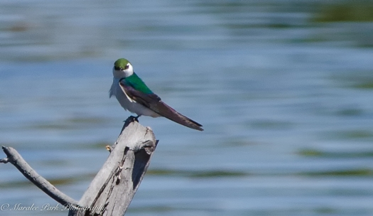 Swallow, Bird, Violet Green Swallow
