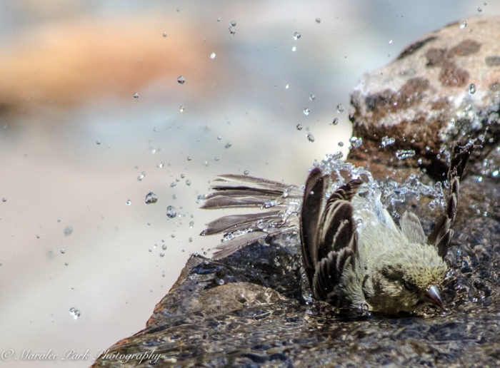 Bird_Bath, Splashing