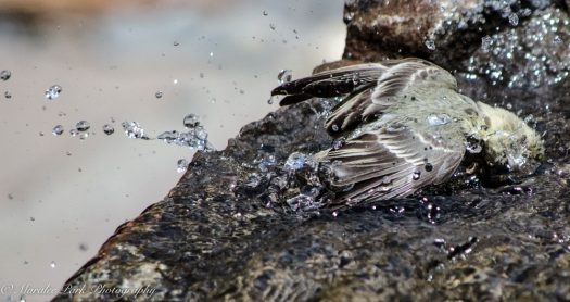 Bird_Bath, Splashing