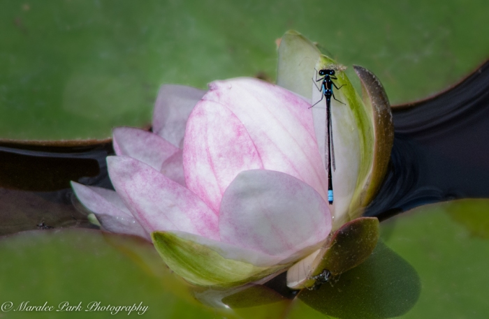 Water Lily, Damselfly, Insect, Flower, Pond