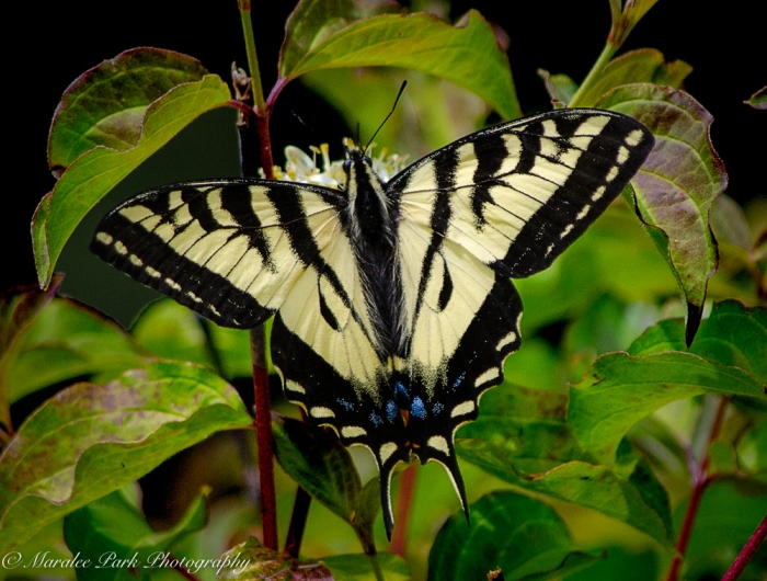 Butterfly, Swallowtail, Insect