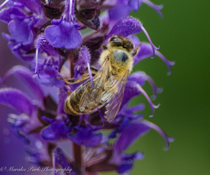 Bee, Insect, Flower, Lavender
