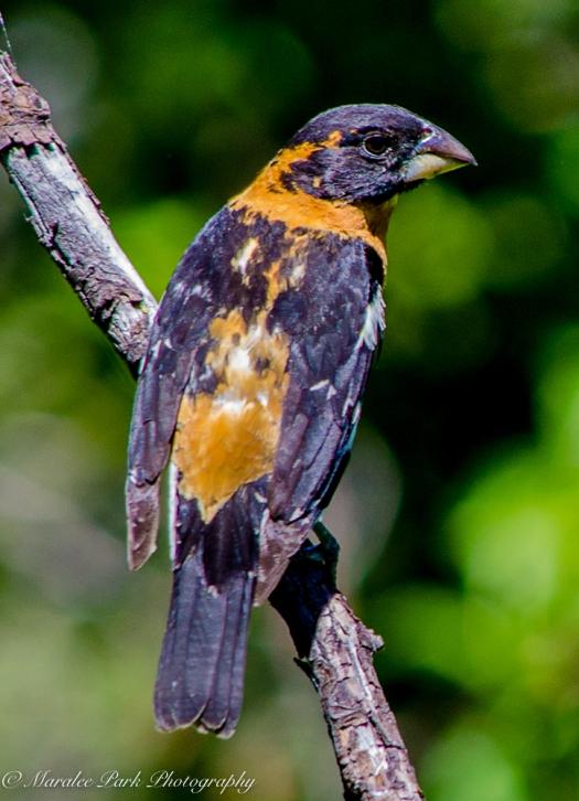 Black-Headed Grosbeak, Birds, Nature, Photography, Nikon
