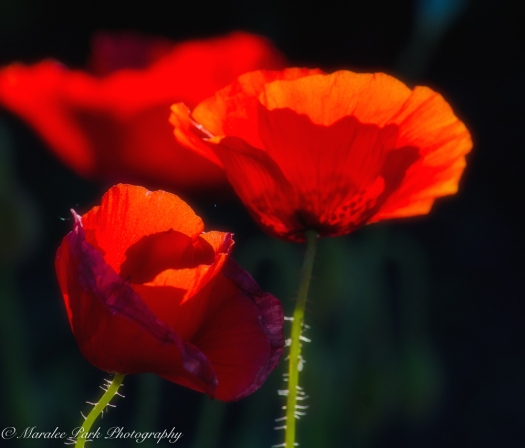 Poppies, Red, Flowers