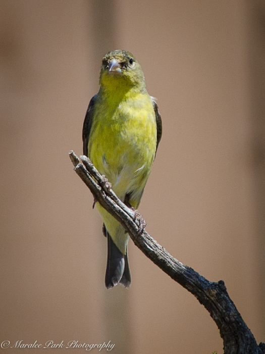 Lesser Goldfinch, Bird, Nature, Animals