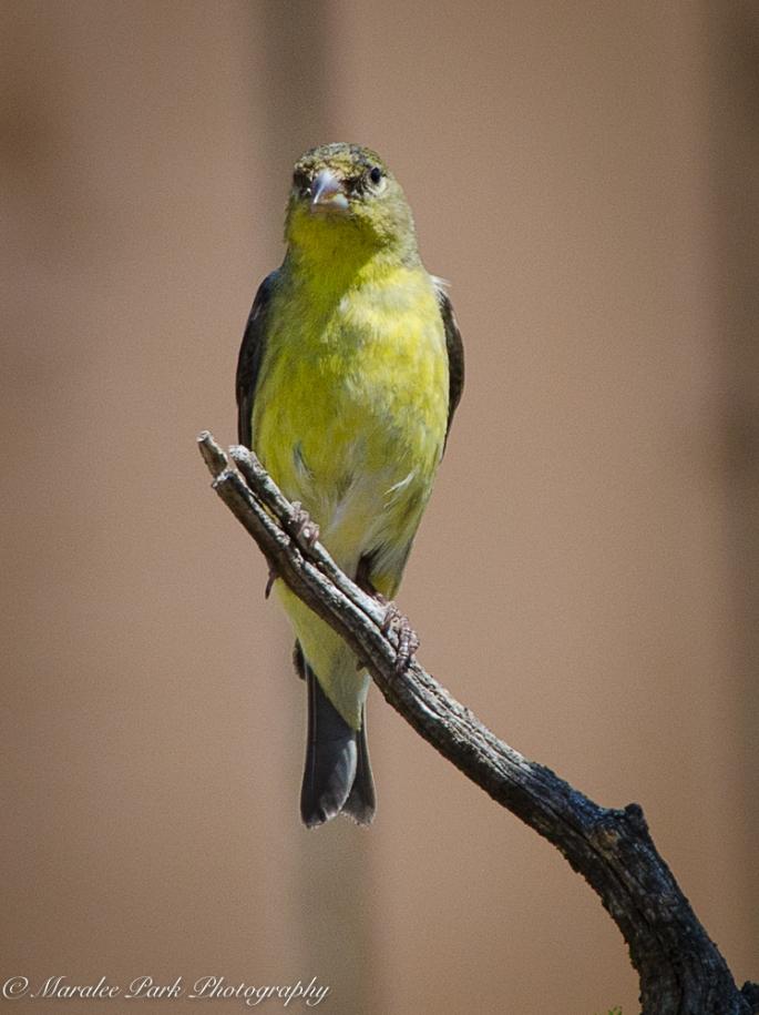 Lesser Goldfinch, Bird, Nature, Animals