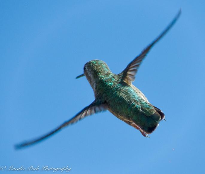 Hummingbird, flight, bird