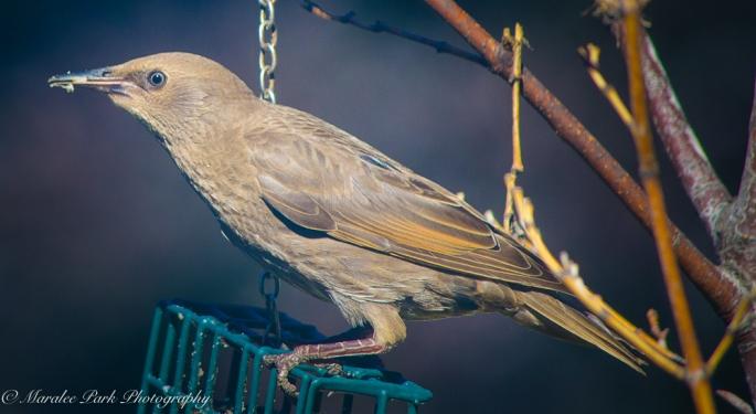 Brown-Headed Cowbird?