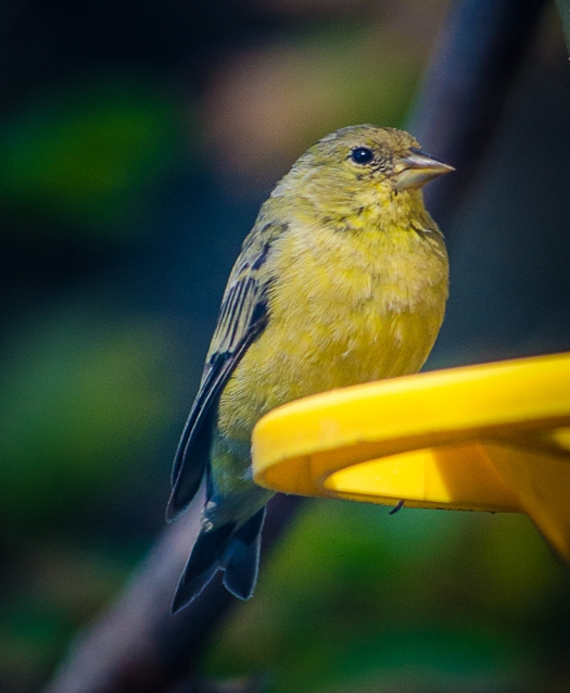 Lesser Goldfinch, Bird