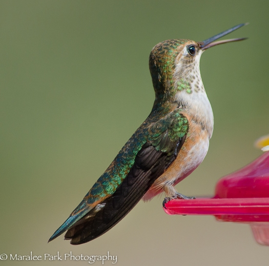 Hummingbird Chatting